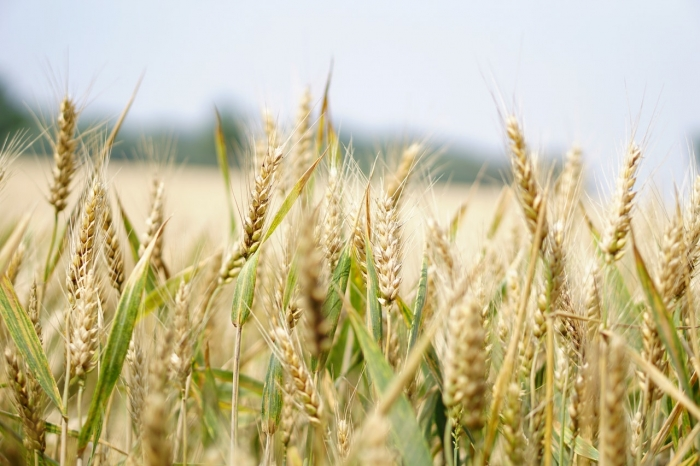 Nedeľné zamyslenie: Kúkoľ a pšenica rástli vždy spolu
