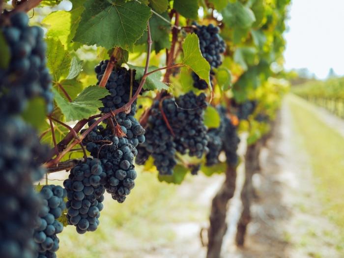 Nedeľné zamyslenie biskupa Mariána Chovanca: Patrime do pravej vinice